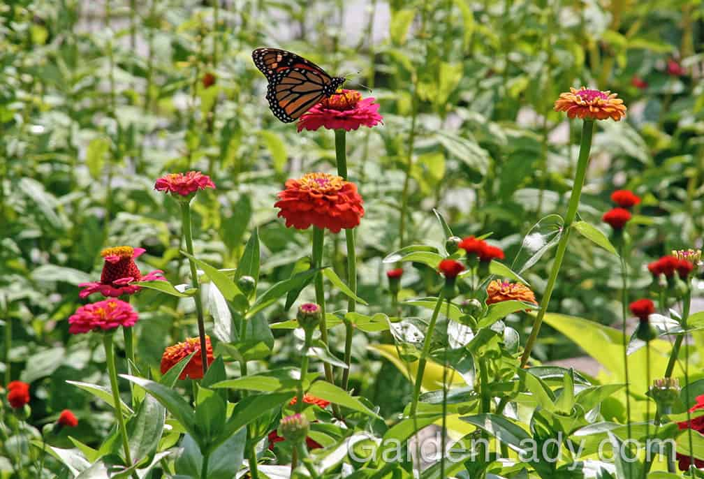 I Love Growing Zinnias From Seed